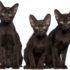 Малыши гавана браун — котята не для всех