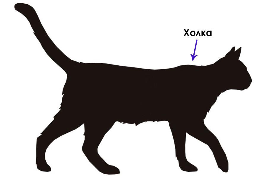 Фото где находится холка у кошки