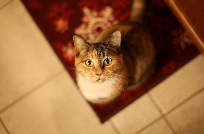 Где у кошки холка?