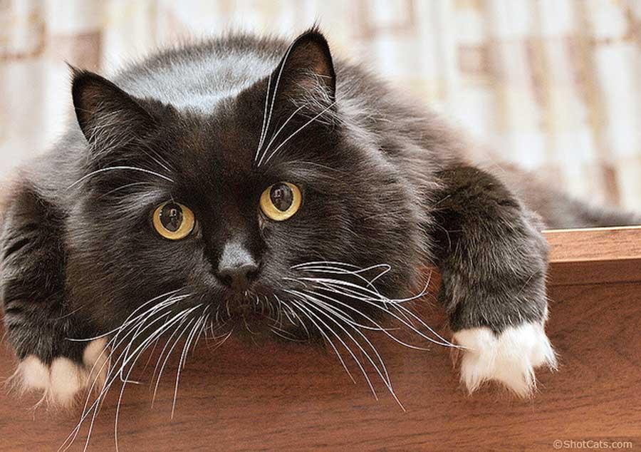 Ген длинношерстности у кошек