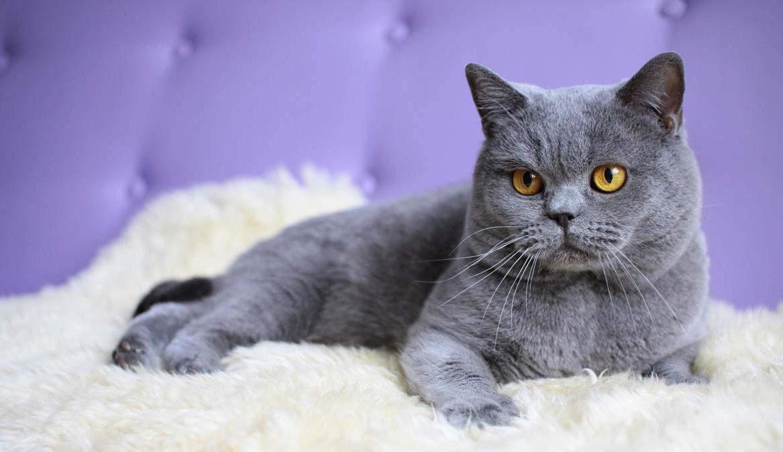 Каким бывает цвет глаз у британских кошек?