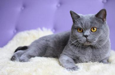 Глаза у британских кошек