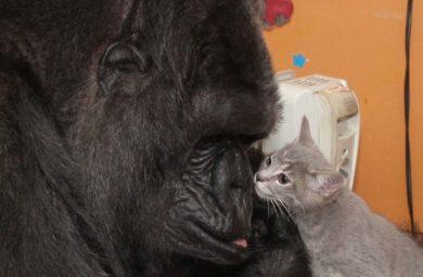 Горилла Коко и котенок: видео