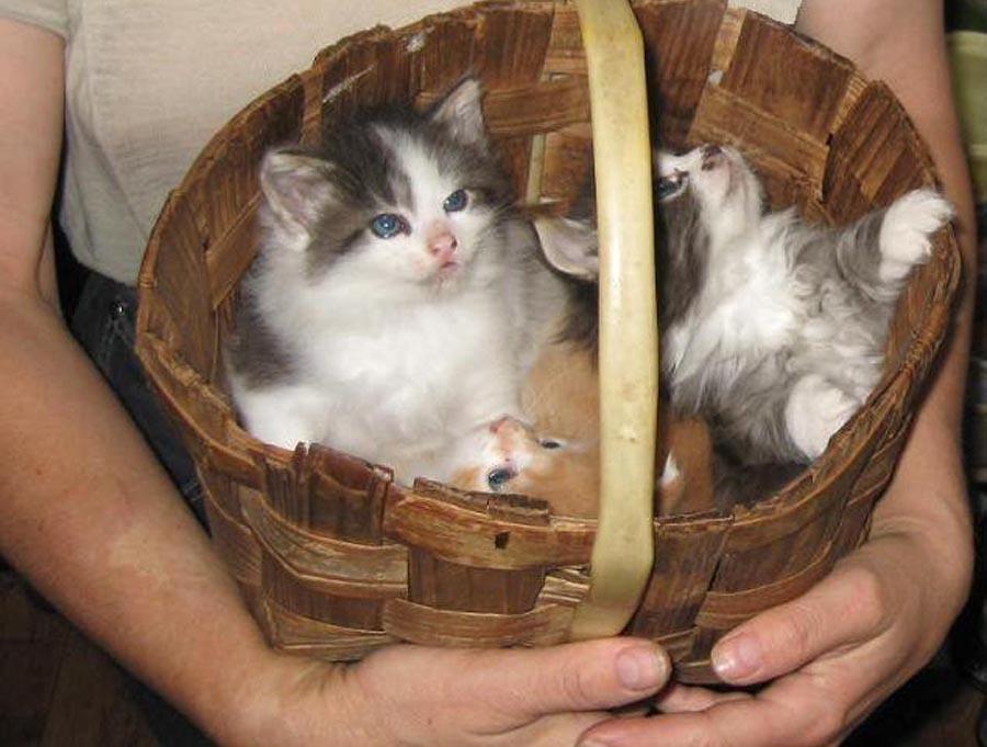Гост на выращивание котят