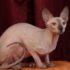 Говорящий кот Гламур: видео беседы с хозяйкой