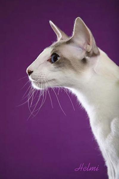 Характер балинезийских кошек