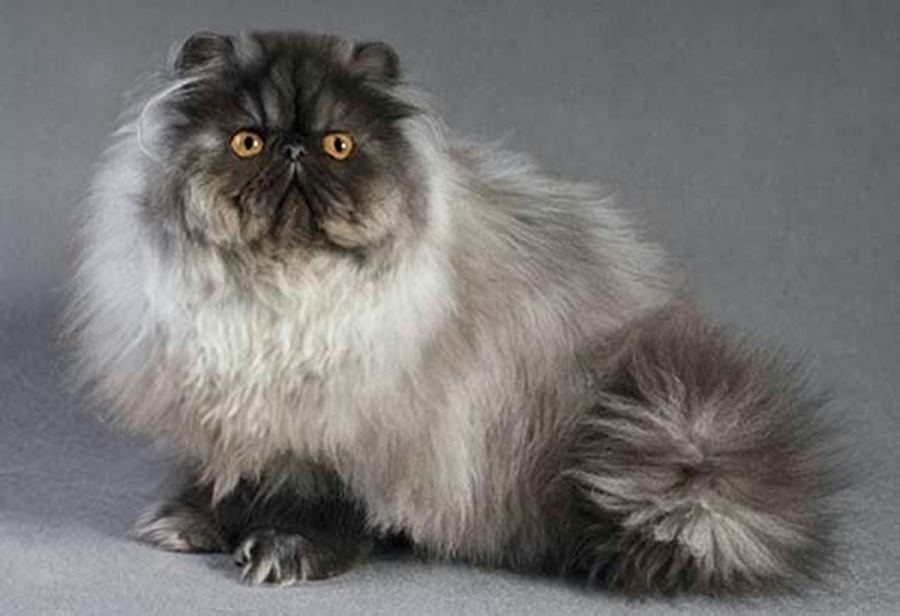 Определить характер кошки по окрасу