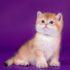 Имена для британских кошек