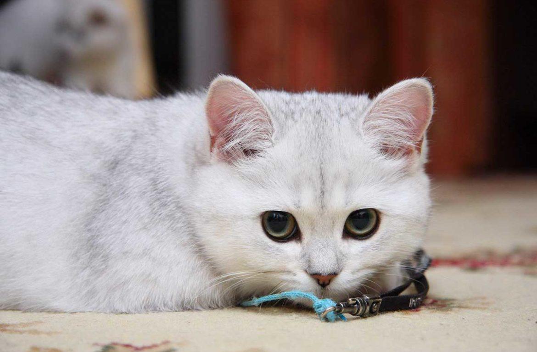 Как прикольно назвать британскую кошку девочку?