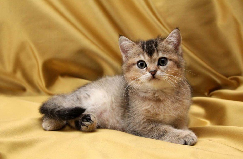 Имена для британских кошек девочек серого цвета