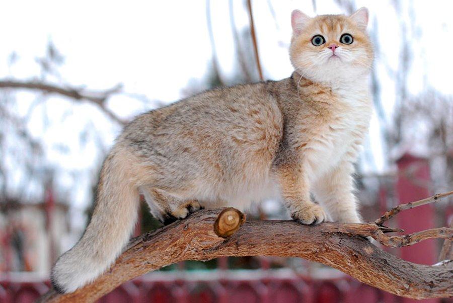Имена для кошек девочек британской породы
