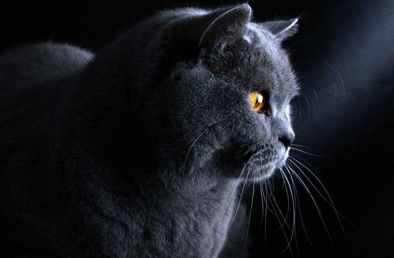 Как назвать кота мальчика серого цвета британского