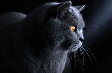 Имена для котов мальчиков британцев серого цвета