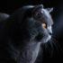 Как назвать кота-британца: имя для мальчика серого цвета