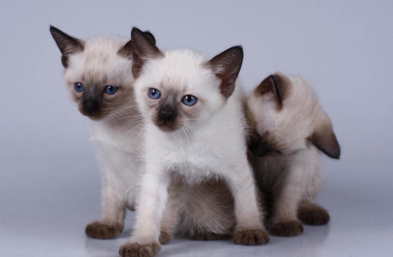 Тайские клички для котов мальчиков