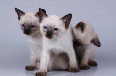 Имена для тайских котят мальчиков