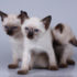 Как назвать тайского котёнка?