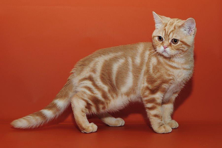 Прикольные имена для кошек девочек британской породы