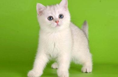 Популярные имена котов британцев