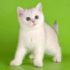 Популярные и прикольные имена для мальчиков котов британцев