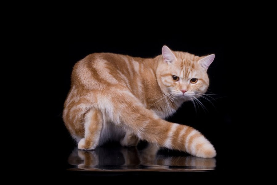 Имя для кота британца