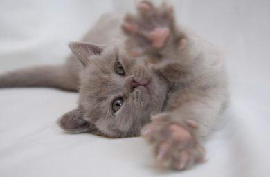 Имя серой британской кошки