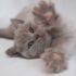 Имена для британских кошек-девочек серого цвета