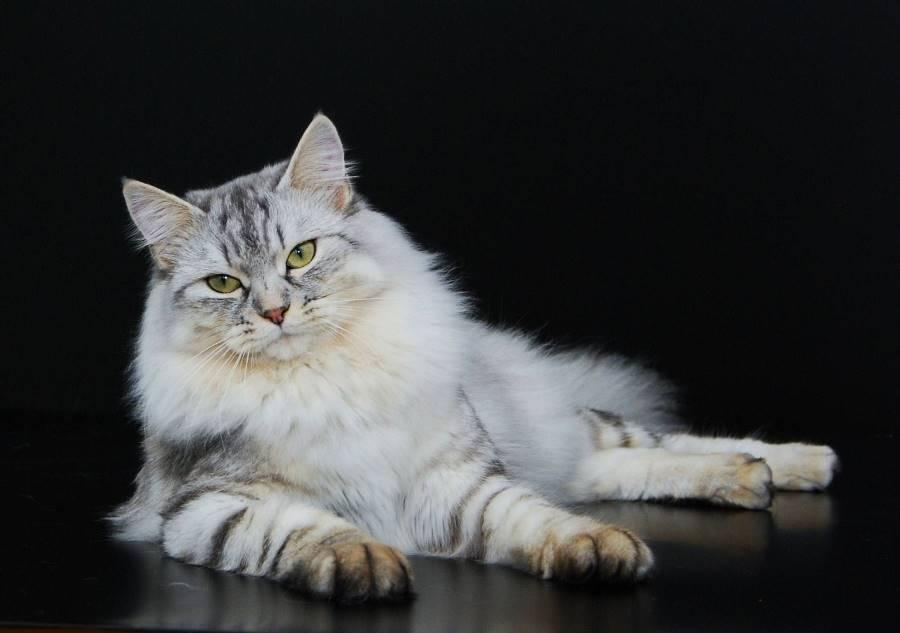 Интересное про сибирских кошек