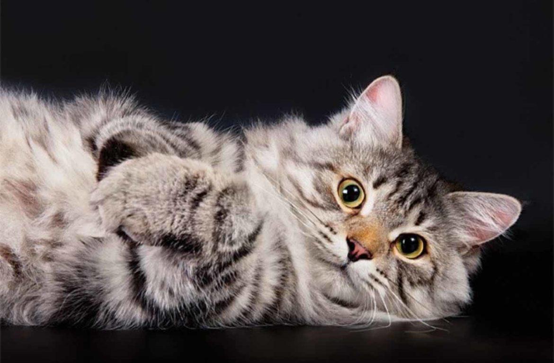История сибирской кошки: тайга, морозы и дремучие сибирские тайны