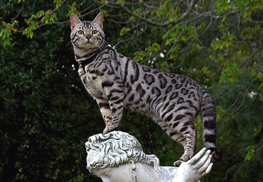 История бенгальской кошки