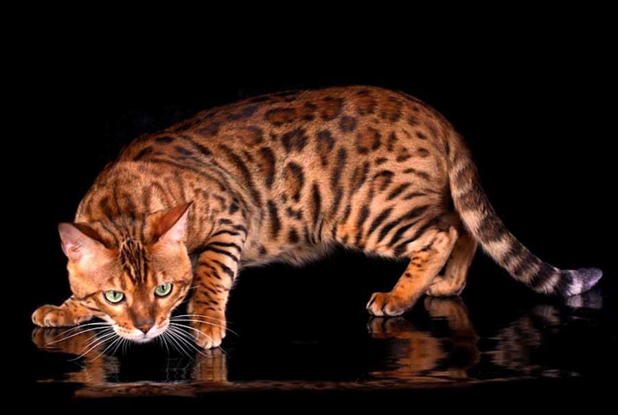 Порода коты долгожители