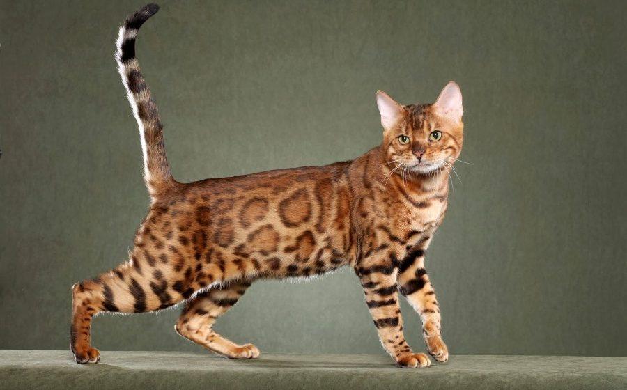 История породы бенгальской кошки