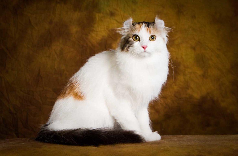 Американский кёрл: история кошки с завитыми ушами и не только…