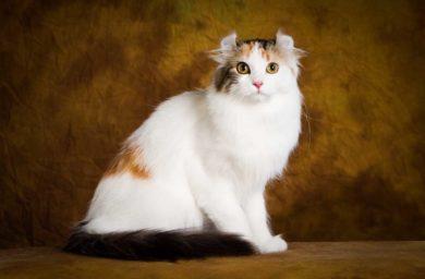 История породы кошек керл