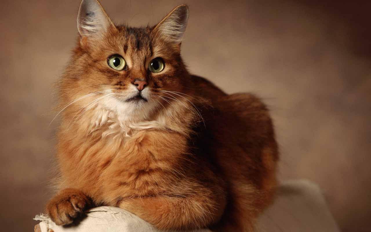 История породы кошек сомали