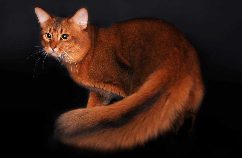 История сомалийской породы кошек и не только