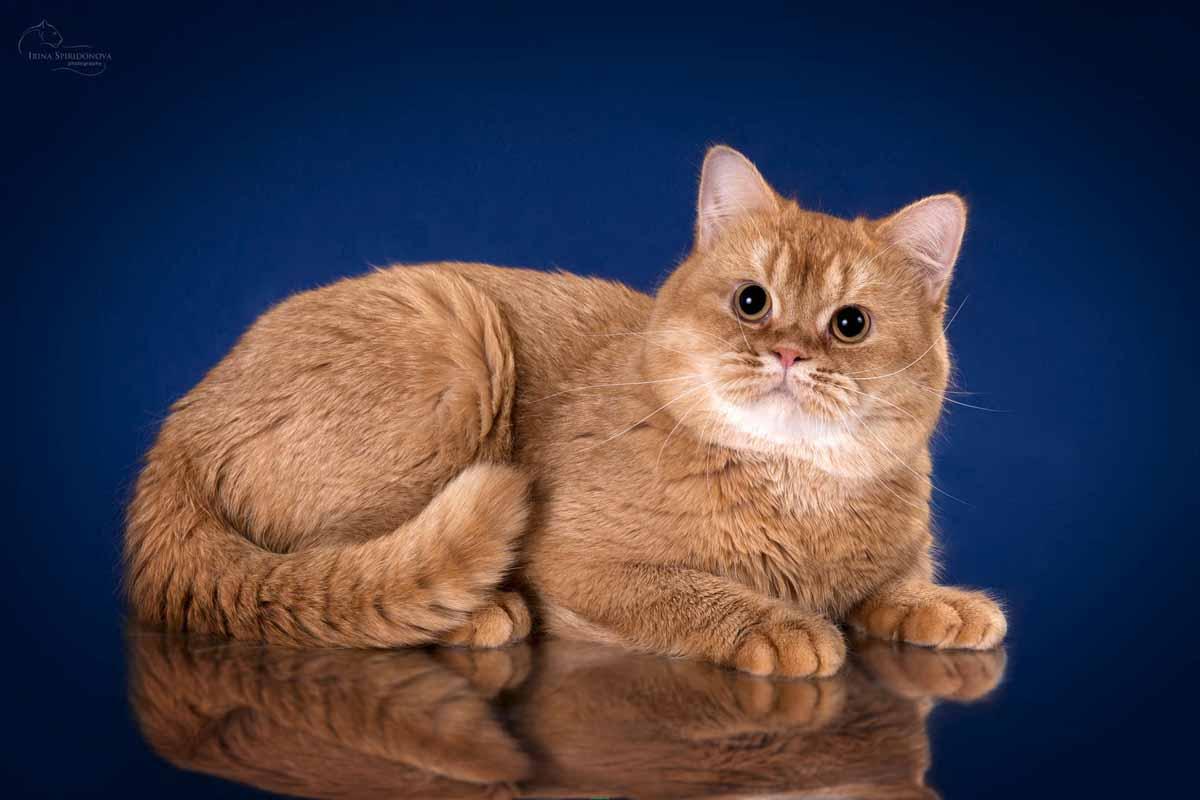 История происхождения британских кошек