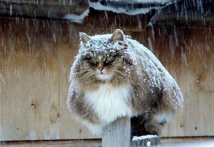 История сибирских котов и все о них