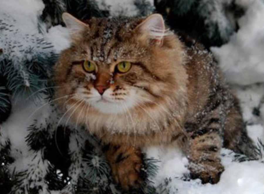 История сибирской кошки