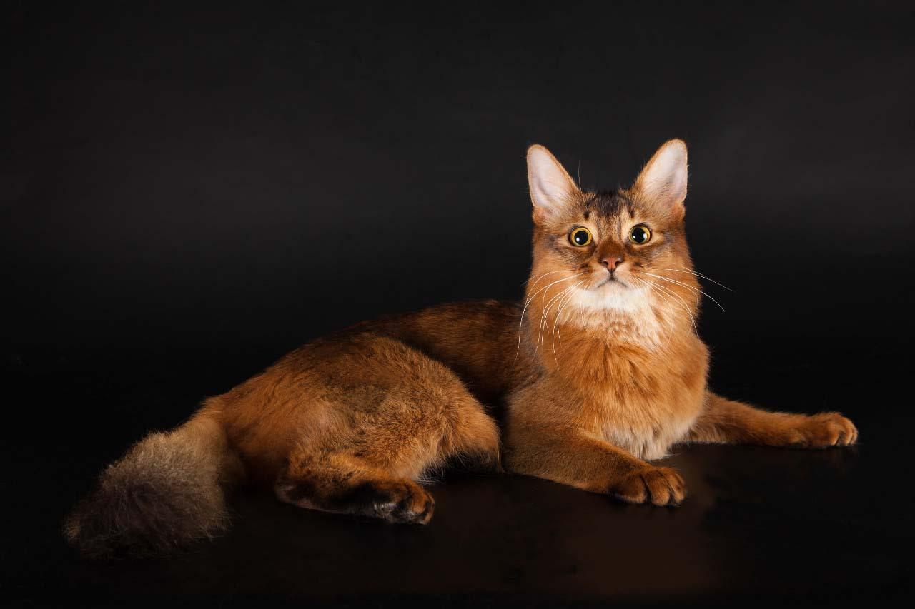История сомалийской породы кошек