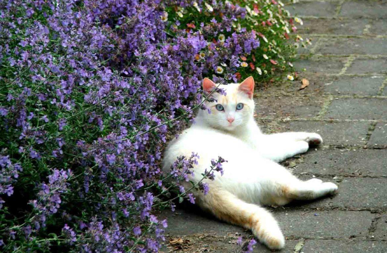 «Кошачья выпивка», или как действует мята на котов?