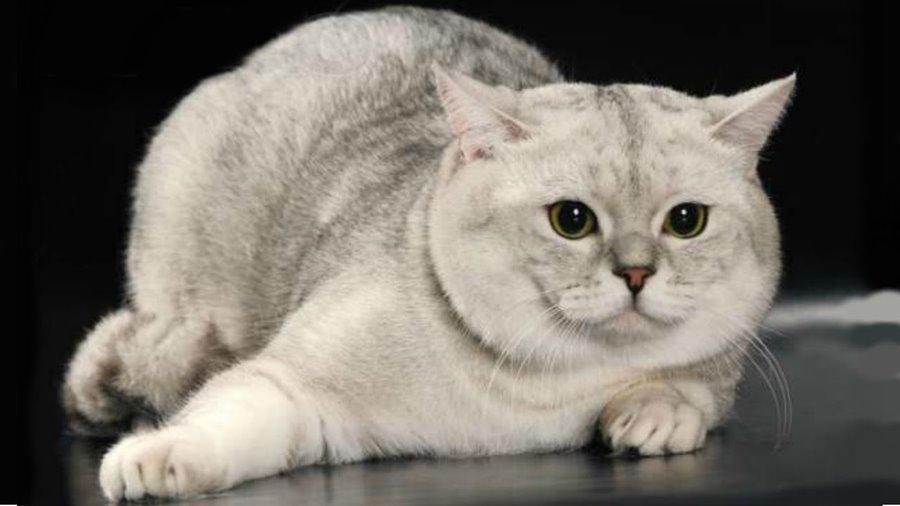 Как можно назвать британского кота