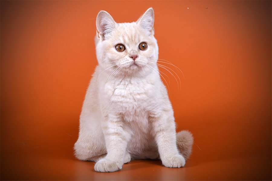 Как прикольно назвать британскую кошку девочку