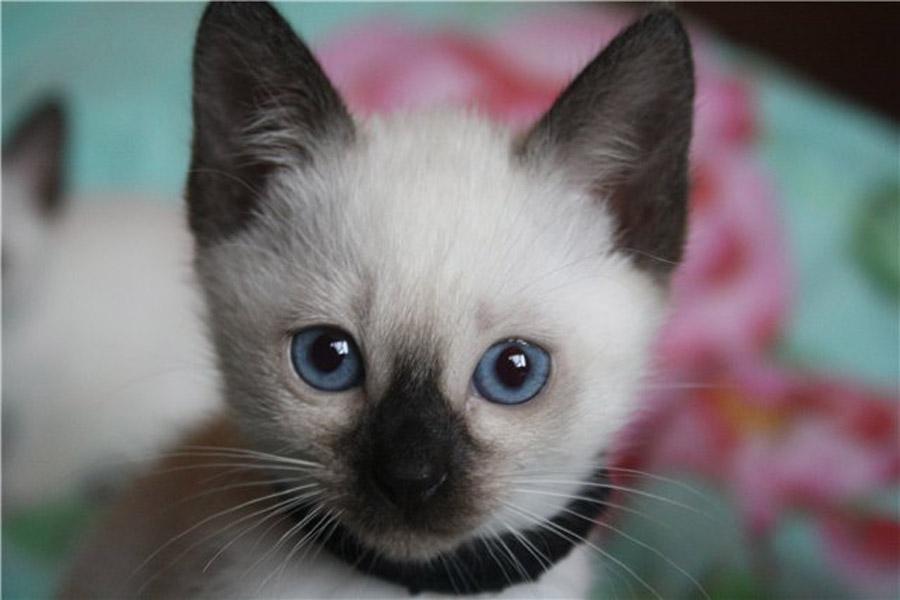 Как назвать тайского котенка