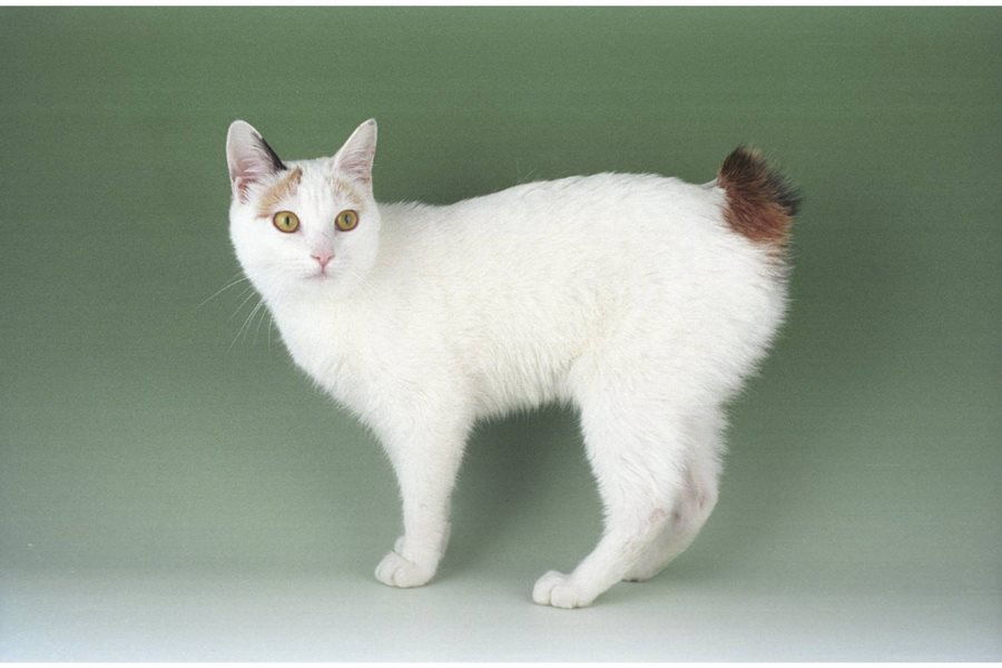 Название кота без хвоста - японский бобтейл