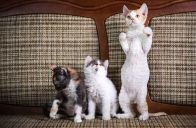 Как называется порода кошек с кудрявой шерстью