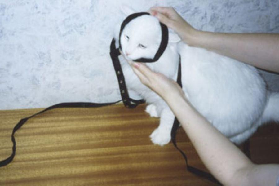 Как одеть шлейку на кошку – пошаговая инструкция