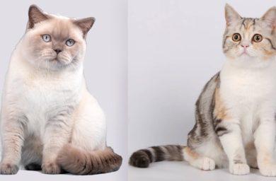 Как отличить британскую кошку от шотландской