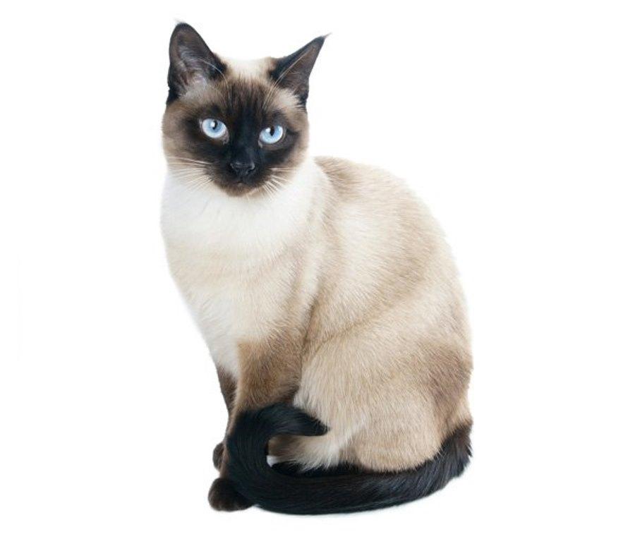 Как отличить тайского котенка от сиамского