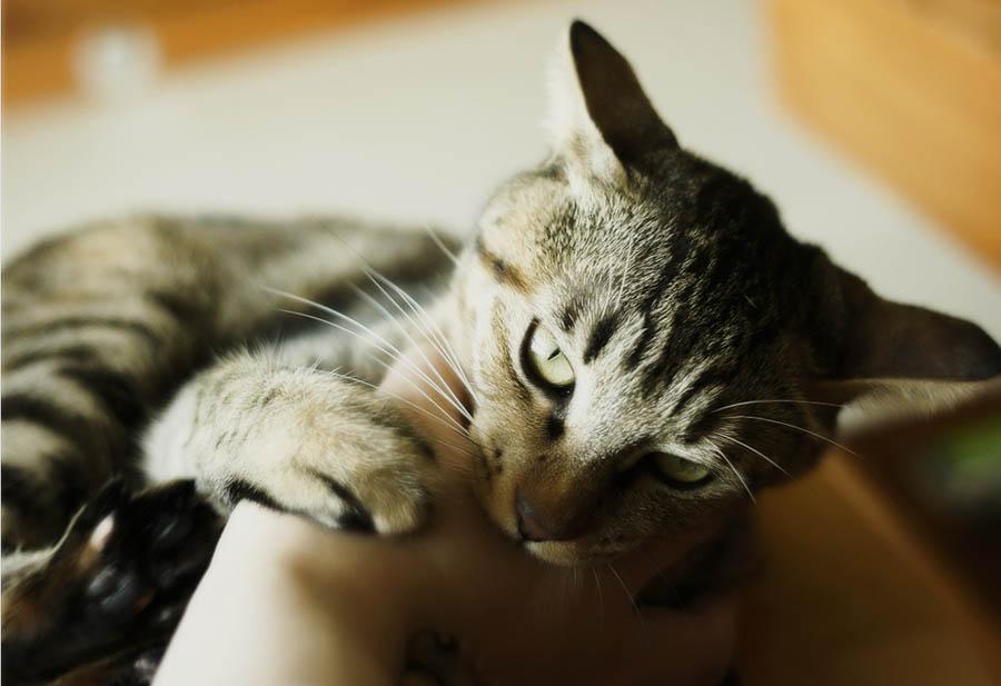 Как передается бешенство от кошки человеку